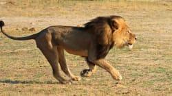 ジンバブエのライオン「セシル」殺害は正当化される?「狩猟許可料は貴重な収入源」
