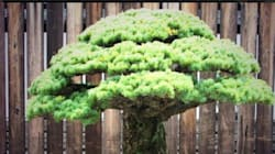 Il Bonsai superstite di Hiroshima ha 390