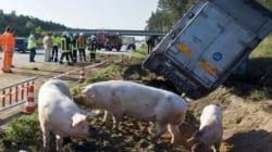 Maiali in fuga in autostrada dopo il rovesciamento di un camion sulla