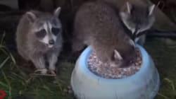 Ne buvez surtout pas votre bol de lait comme ces ratons