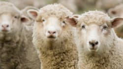 Edmonton Sheep Farmer Given Extended Deadline To Remove