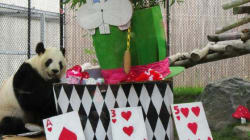 Toronto Panda Gets Alice In Wonderland-Themed 8th Birthday