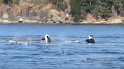 Dozens Of Orcas Frolic Off B.C.'s West