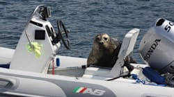 Smarty-Pants Seal Hops On Boat To Escape B.C. Killer