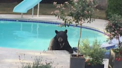 Bear Goes For A Nice Little Swim In B.C.