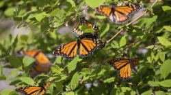 You Can Help Bring Monarch Butterflies Back from the