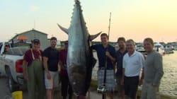 Un thon d'une valeur de 10 000$ pêché à Terre-Neuve-et-Labrador