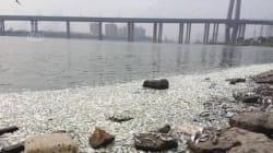 Des milliers de poissons morts à la surface du fleuve qui traverse
