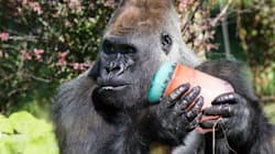 Quebec Zoo Gorillas Cool Down With Giant
