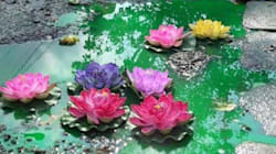 This Is Why There Are 'Lotuses' Growing On A Bengaluru