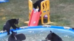 Bear Family Pool Party Is The Cutest Backyard Invasion