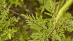 Journées pénibles pour les allergiques à l'herbe à