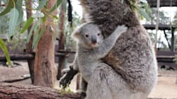 Look At Him! This Baby Koala Is Actually The
