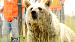 Freed Bears Feel Grass For 1st Time In 20