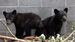 Conservation Officer Who Refused To Kill B.C. Bears Pushed Out Of