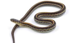 Saskatoon Tim Hortons Snake Thrower