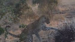 Porcupine Gets The Better Of Leopard In Remarkable
