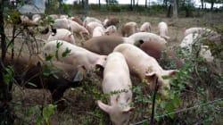 Crise de l'élevage : les 5 mensonges de la