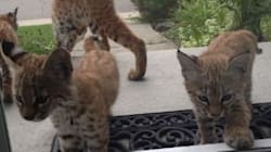LOOK: Adorable Bobcat Kittens Make A Surprise