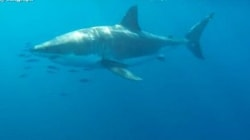 Watch: Great White Shark Spotted Off Sydney