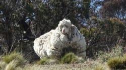 Chris le mouton a été sauvé et a perdu 40 kg (de