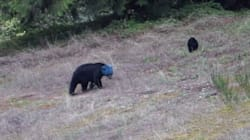 Blue-Headed Bear Spotted In