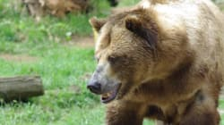 Group Of Grizzly Bears Attacks Hunters In