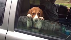 Cute Dog Just Won't Quit His Car