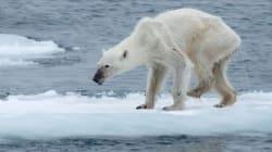 L'état de santé de cet ours polaire inquiète les