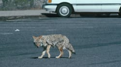 Coyotes, Not Humans, To Blame In Cat