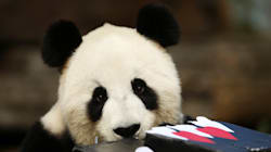 Flirting In The Panda World Is Relatively Black And