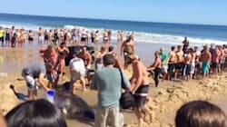 Beachgoers Rescue Great White