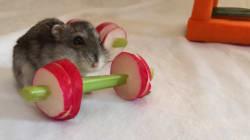 Ce hamster va vous donner envie de vous remettre au