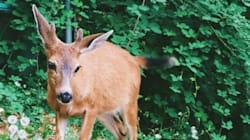 Vancouver's Downtown Deer 'Very Likely' Killed In Stanley
