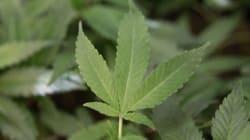 Mulcair prêt à légaliser la marijuana, mais pas tout de