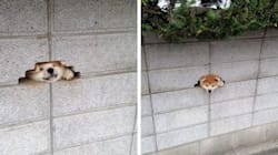 Dog Gets Stuck In A Wall, Still Looks