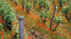 L'avenir du vin de Sauternes menacé par des lignes à grande
