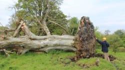 Un albero sradicato è la chiave di un omicidio