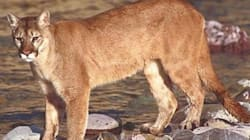 Toddler Recovering After Cougar