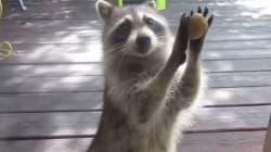 El mapache más gorrón: llama a la puerta para pedir más