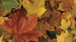 Pourquoi les feuilles d'automne prennent cette