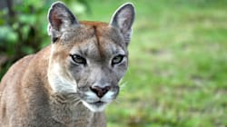 Cougar Grabs B.C. Toddler In Its