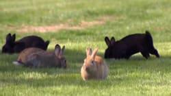 Des lapins prennent d'assaut une