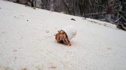 Ce bernard-l'ermite est une victime de la pollution des