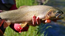 Alberta Trout Habitats Focus Of Lawsuit Against Federal