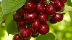 U.S. Cherry Company Pleads Guilty To Secret Marijuana