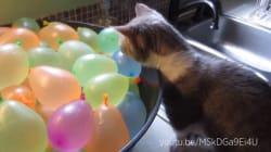 Ces chiens et chats qui crèvent des ballons vont vous