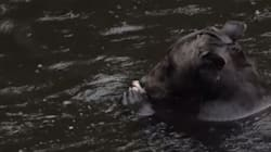 Diving Grizzly Bear Could Be In Danger: