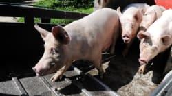 A l'abattoir, hommes et animaux réduits à l'état de