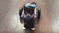 Two-Legged Kitten Takes His New Wheelchair Out For A